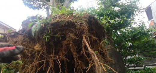 庭木を引き抜いた直後。根に土が絡み付いています