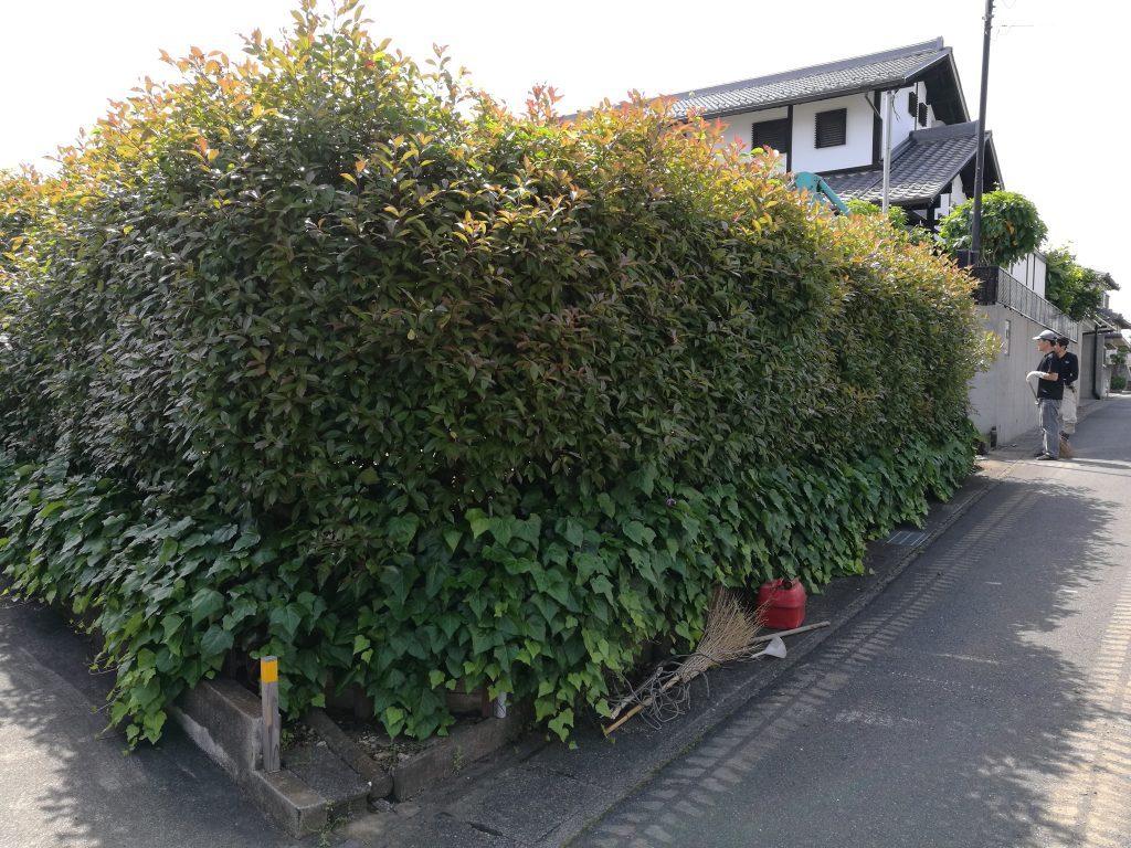 この生垣を伐採していきます