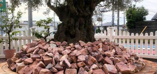 古木オリーブとピンクロック